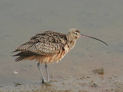 Bob Wade Photograph - Long-billed Curlew by Bob and Jan Shriner