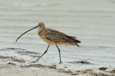 Photograph - Long-billed Curlew by Bradford Martin