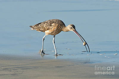 Long-billed Curlew Photograph - Long-billed Curlew Catching Crab by Anthony Mercieca