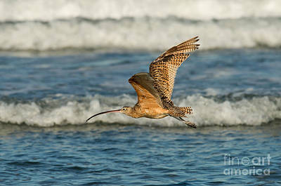 Long-billed Curlew Photograph - Long-billed Curlew Flying Over The Surf by Anthony Mercieca