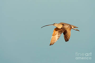 Photograph - Long-billed Curlew Huntington Beach California by Ram Vasudev