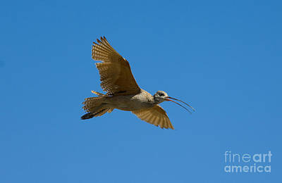Long-billed Curlew Photograph - Long-billed Curlew In Flight by Anthony Mercieca
