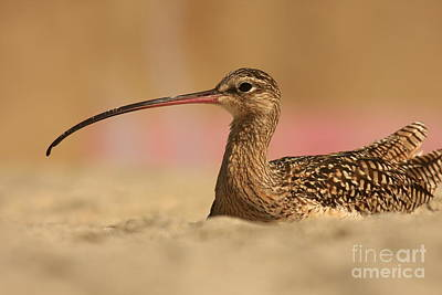 Photograph - Long Billed Curlew by John F Tsumas