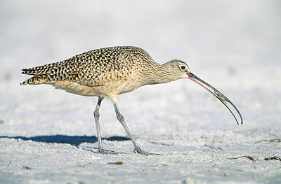 Long-billed Curlew Photograph - Long-billed Curlew by Paul J. Fusco