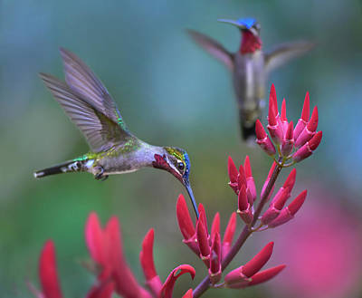 Trinidad And Tobago Wall Art - Photograph - Long-billed Starthroat Hummingbird by Tim Fitzharris