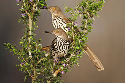 Starr Photograph - Long-billed Thrasher (toxostoma by Larry Ditto
