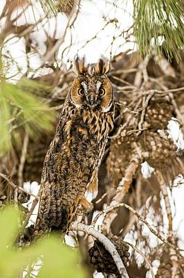 Birds Of Israel Photograph - Long-eared Owl Asio Otus by Photostock-israel
