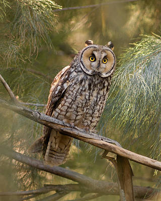 Long-eared Owl Art Print by Doug Herr