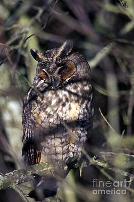 Photograph - Long Eared Owl In The Shadows by Sharon Talson