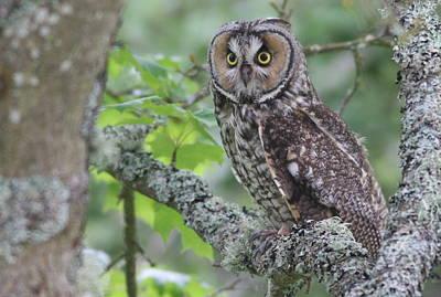 Photograph - Long-eared Owl by Joe Sweeney