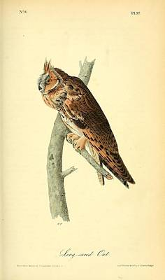 Barn Owl Drawing - Long Eared Owl by Philip Ralley