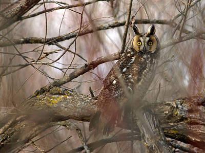 Long-eared Owl Original