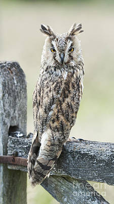 Long Eared Owl Art Print by Tim Gainey