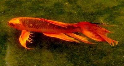 Photograph - Long Fin Koi by Phyllis Spoor