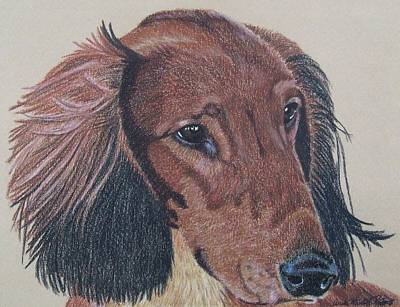 Drawing - Long-haired Dachshund by Anita Putman