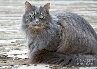 Photograph - Long Haired Gray Cat Art Prints by Valerie Garner