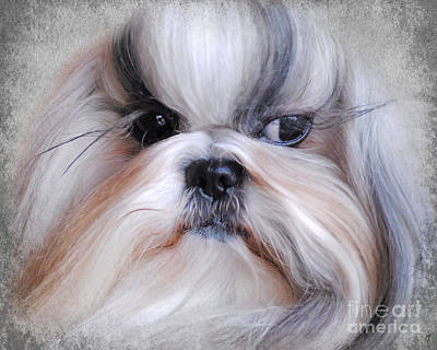Long Haired Shih Tzu Art Print