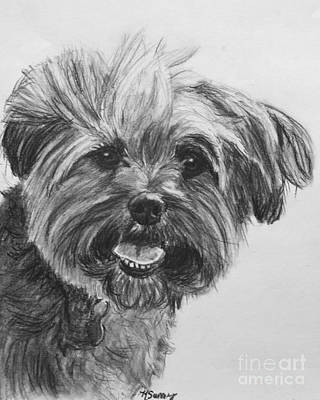 Yorkie Drawing - Long Haired Yorkshire Terrier by Kate Sumners