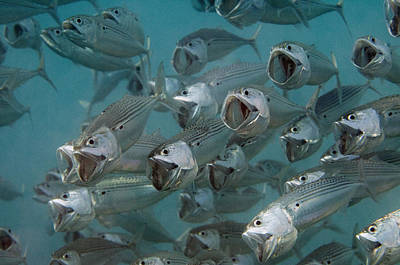 Northeastern Photograph - Long-jawed Mackerel Foraging Red Sea by Dray van Beeck