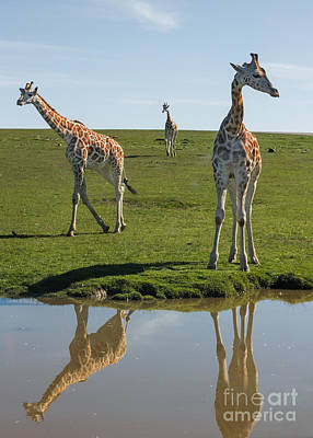 Photograph - Long Neck Reflections by Barbara McMahon