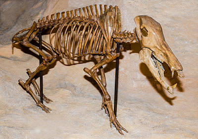 Photograph - Long-nosed Peccary Fossil by Millard H. Sharp
