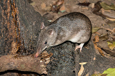 Marsupial Photograph - Long-nosed Potaroo by Louise Murray