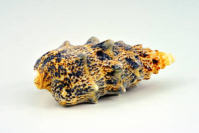 Long Seashell Original