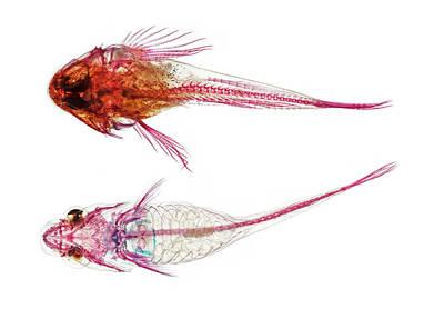 Long-spined Sea Scorpion And Clingfish Art Print