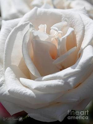 Photograph - Long-stemmed White Rose by J McCombie