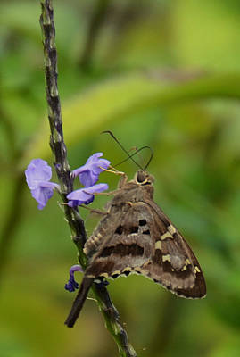 Photograph - Long Tail Skipper by Julie Cameron