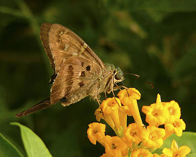 Photograph - Long-tailed Butterfly. by Chris  Kusik