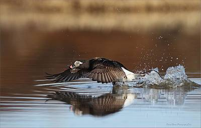 Photograph - Long Tailed Duck Blasting Off by Daniel Behm