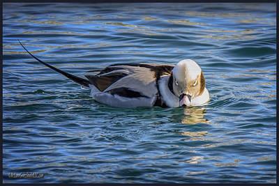 Waterfowl Photograph - Long-tailed Duck Cold Stare by LeeAnn McLaneGoetz McLaneGoetzStudioLLCcom