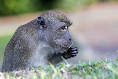 Art Print featuring the photograph Long Tailed Macaque Feeding by Shoal Hollingsworth