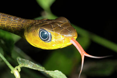Tasting Photograph - Long-tailed Machete Savanne by Dr Morley Read