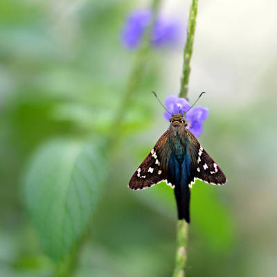 Long Tailed Skipper Art Print by Laura Fasulo