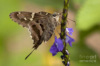 Photograph - Long-tailed Skipper Photo by Meg Rousher