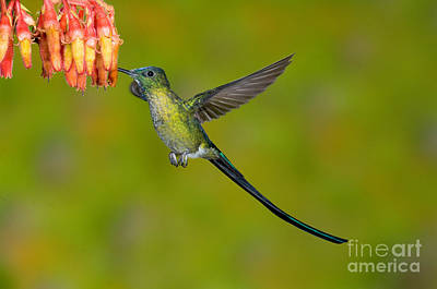 Long-tailed Sylph Photograph - Long-tailed Sylph by Anthony Mercieca