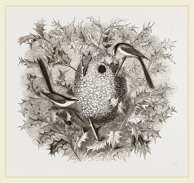 Titmouse Drawing - Long-tailed Titmice And Nest by Litz Collection