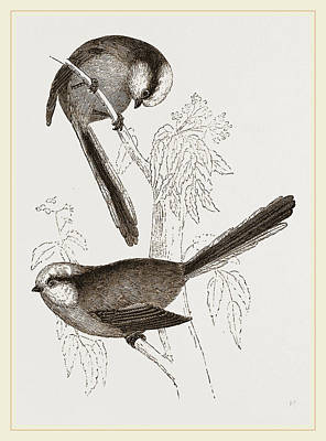 Titmouse Drawing - Long-tailed Titmice by Litz Collection