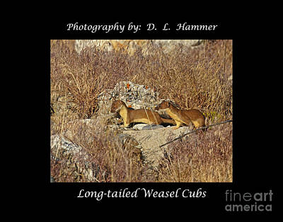 Long-tailed Weasel Cubs Art Print by Dennis Hammer