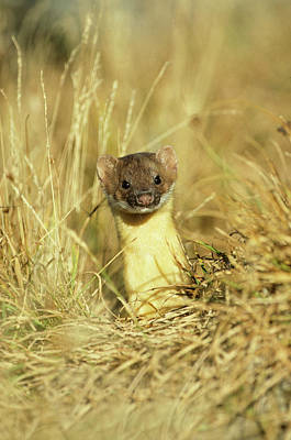 Weasel Photograph - Long-tailed Weasel (mustela Frenata by Richard and Susan Day