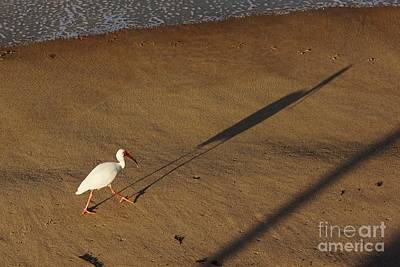Photograph - Long Tall Ibis by Lynda Dawson-Youngclaus