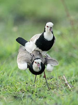 Lapwing Wall Art - Photograph - Long-toed Lapwings Mating by Tony Camacho/science Photo Library