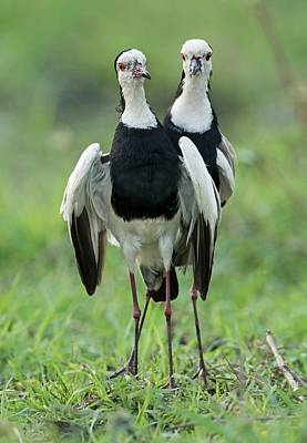 Lapwing Wall Art - Photograph - Long-toed Lapwings by Tony Camacho/science Photo Library