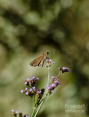 Photograph - Long-winged Skipper Butterfly by Donna Brown