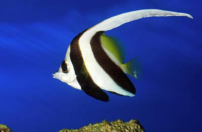 Dorsal Fin Photograph - Longfin Bannerfish by Nigel Downer