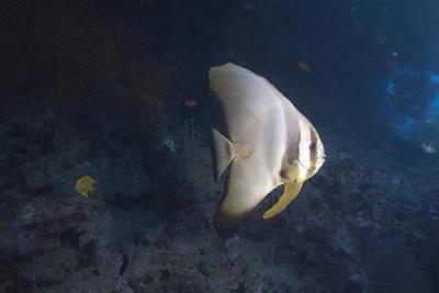Ephippidae Photograph - Longfin Spadefish, Beqa Lagoon, Fiji by Terry Moore
