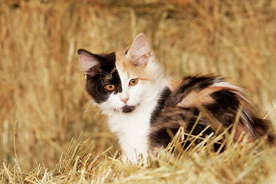 Calico Cat Photograph - Longhair Calico Kitten In Golden Grass by Piperanne Worcester