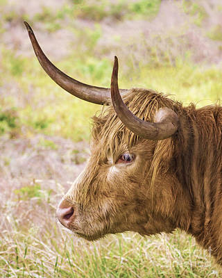 Photograph - Longhorn 2 by Linsey Williams